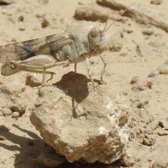 Desert grasshopper (Afghanistan).